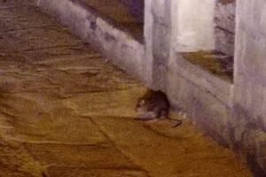 Topi nel centro di Borgo San Lorenzo