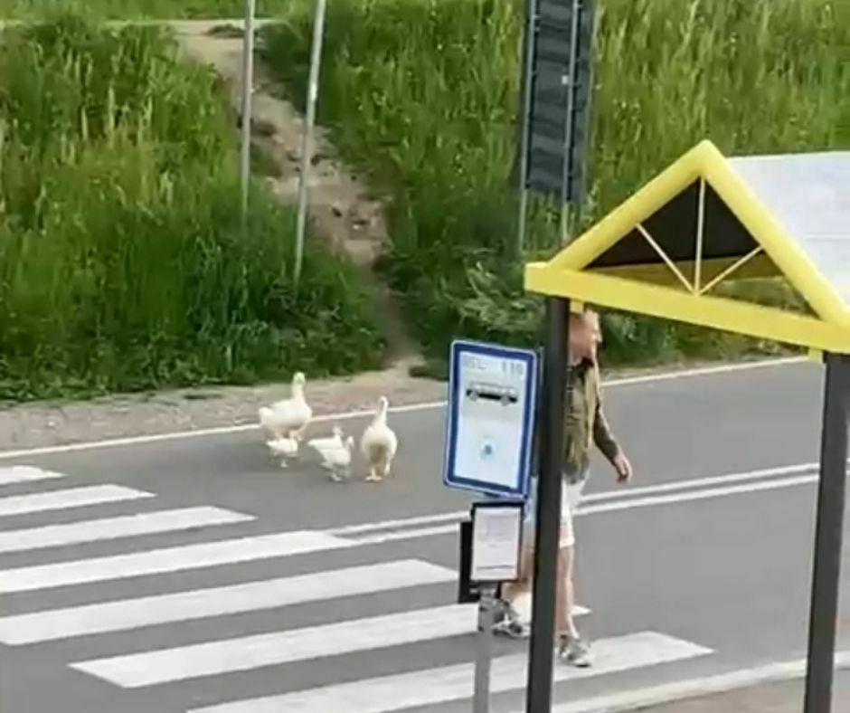 Oche attraversano la strada
