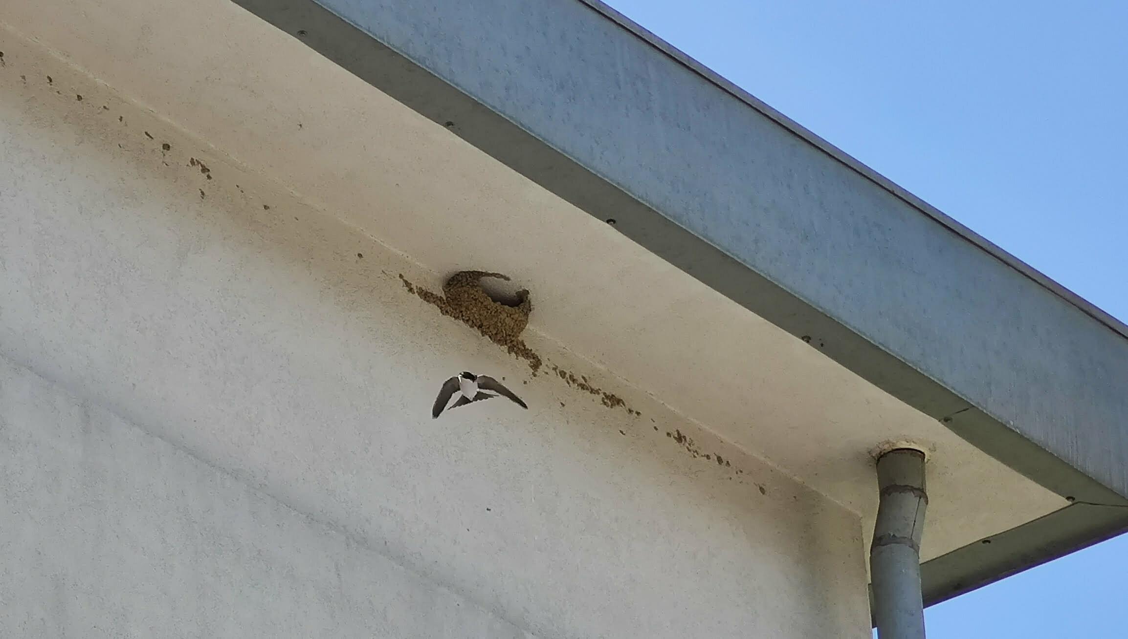Balestruccio in uscita dal nido in costruzione