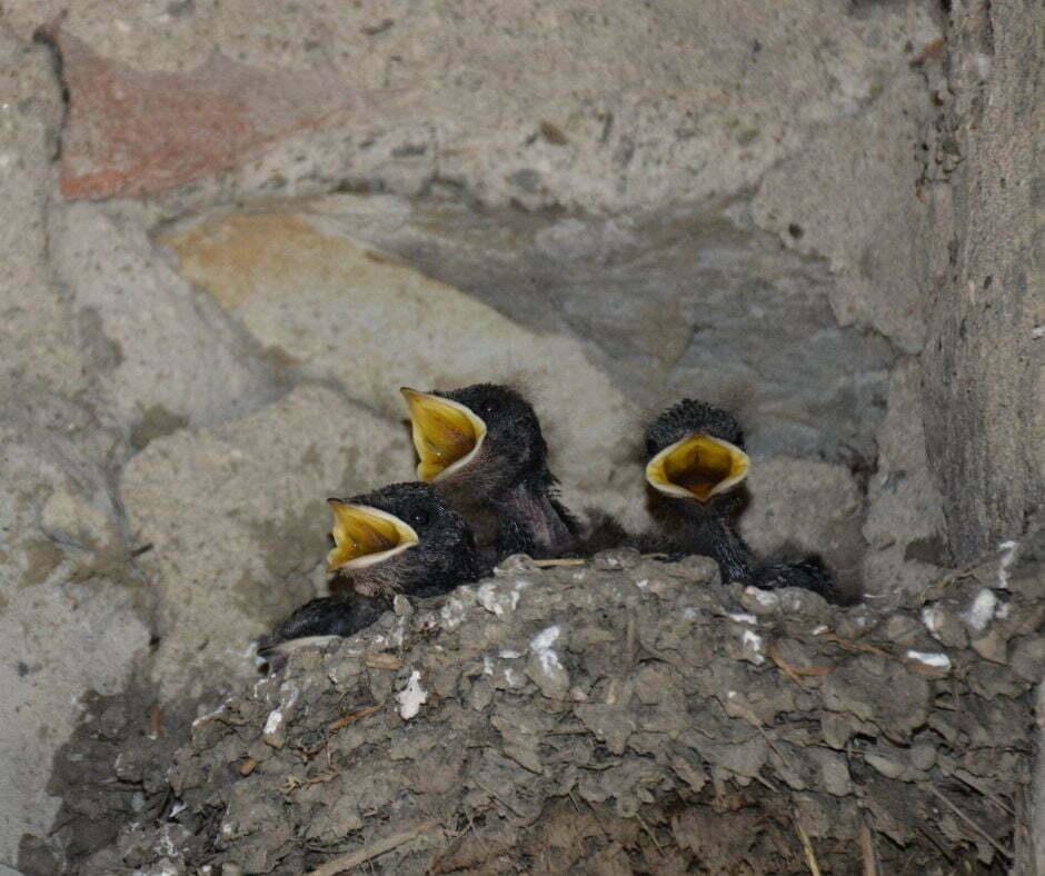 Pulli di rondine nel nido